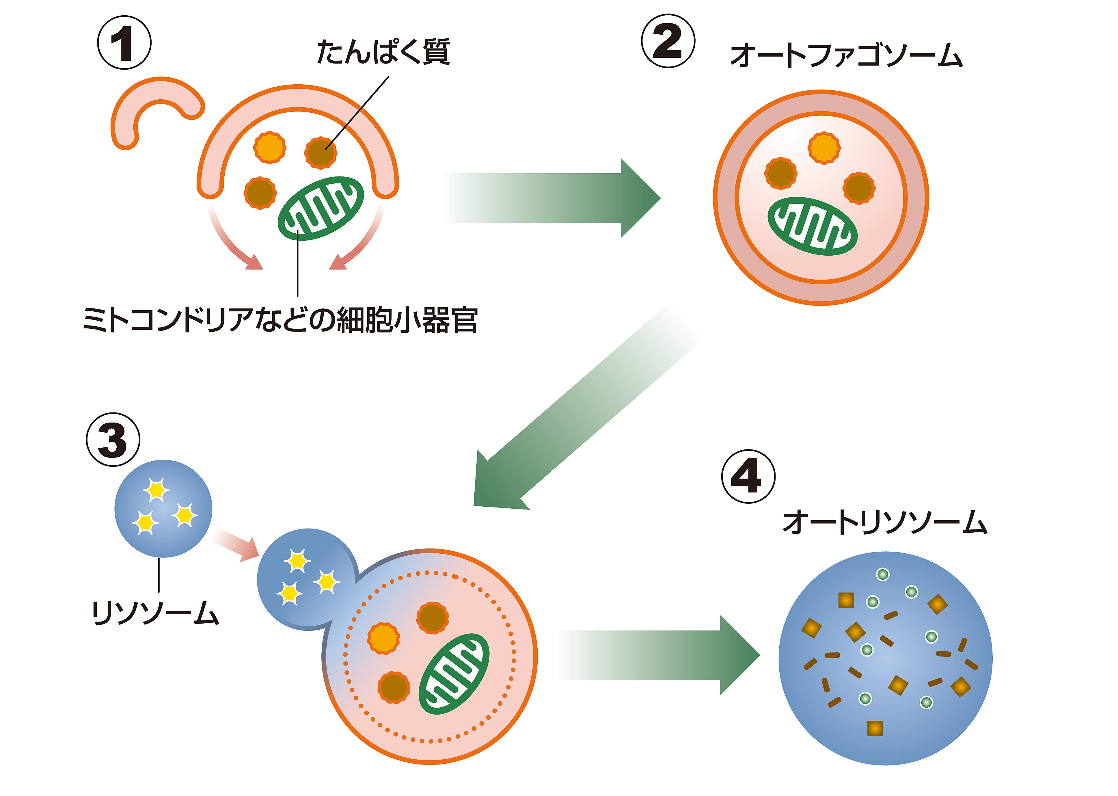 細胞 小 器官 働き